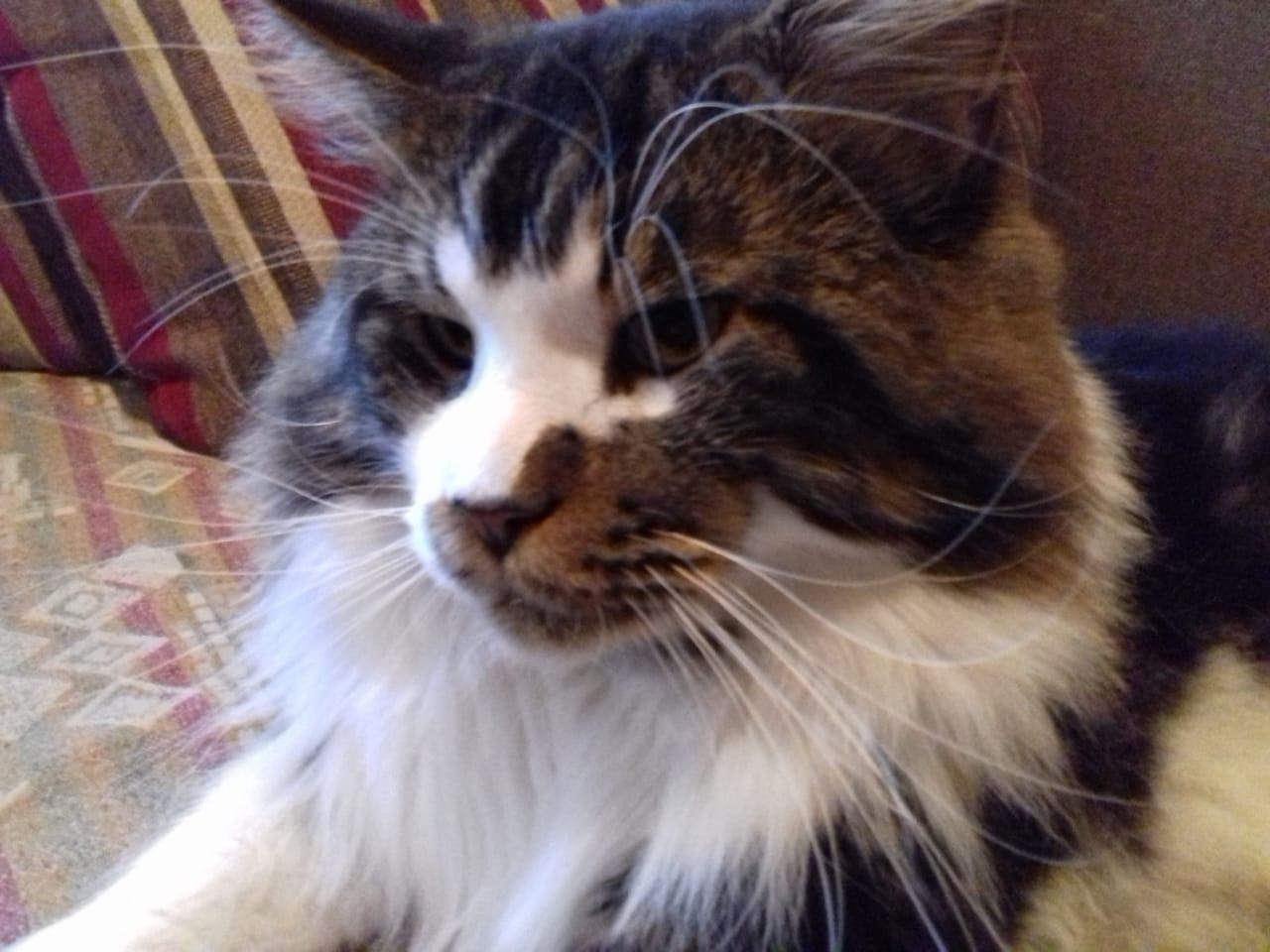Как кошачий красавец мейн-ку́н смог  обидеть хозяйку  и  при чем тут  мой РОФЭС?